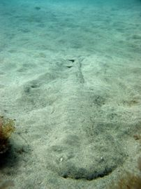 Angel shark in a typical position, half under the sand