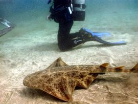 AngelShark in the Gran Canaria Marine Reserve