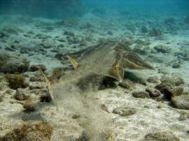 Angel sharks and Rays can often be found near Punta de la Monja