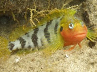 The Hairy Blenny can be found in its colourful mating plumage in Gran Canarias Marine Reserve at Arinaga