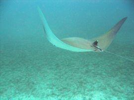 The mobulus rays are similar to manta (or devil) rays