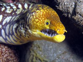 This Tiger Moray can be found at several places in the Arinaga marine reserve