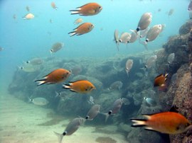 Atlantic Damselfish and Bream