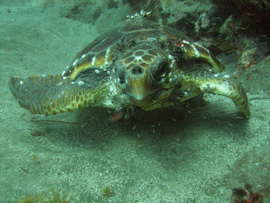This green turtle was seen several times by divers in the Arinaga area in summer 2007