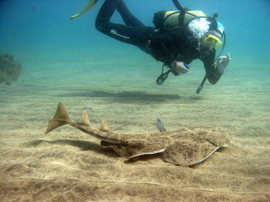 Large Angelsharks return to Gran Canaria´s marine reserve in November