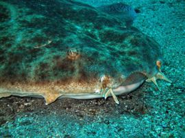 get close to the angel sharks when you dive in Gran Canaria