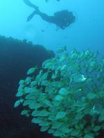 There are always big shoals of bream and damselfish on this dive