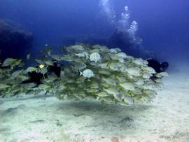 Shoal of Roncadors in Gran Canaria