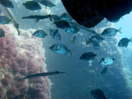 Swim in big clouds of damselfish in the El cabrón Marine Reserve