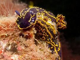 Surprised? nudibranch diving in Gran Canaria