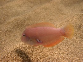The razorfish can be found out in the sand where they hide if disturbed