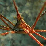 arrowhead crab  seen underwater in Gran Canaria