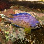 Damselfish in Atlantic waters of Gran Canaria