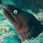 Moray Eel underwater -marine biology in Gran Canaria