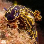 Scuba Diver finds nudibranch (hypselodoris picta) underwater in Gran Canaria