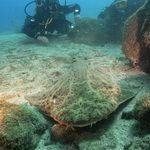 Angel Shark underwater Gran Canaria with Scuba Diver
