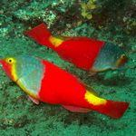 Parrotfish Underwater dive sites Gran Canaria