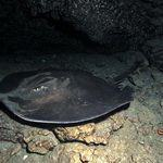 Stingray swimming in Atlantic waters of Gran Canaria