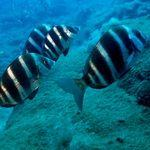 Zebra Bream - Diving - gran Canaria