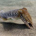 cuttlefish -marine species of the Canary Islands