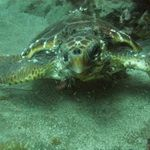 turtle in sea near Gran Canaria