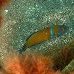 Scuba Diving with Turkish Wrasse in Gran Canaria