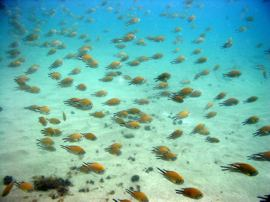 In de baai leven vele scholen atlantische damselfish, bream, en red mullet.