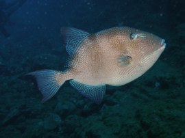 Triggerfish are often found at Punta de la Sal in Gran Canarias Marine Reserve