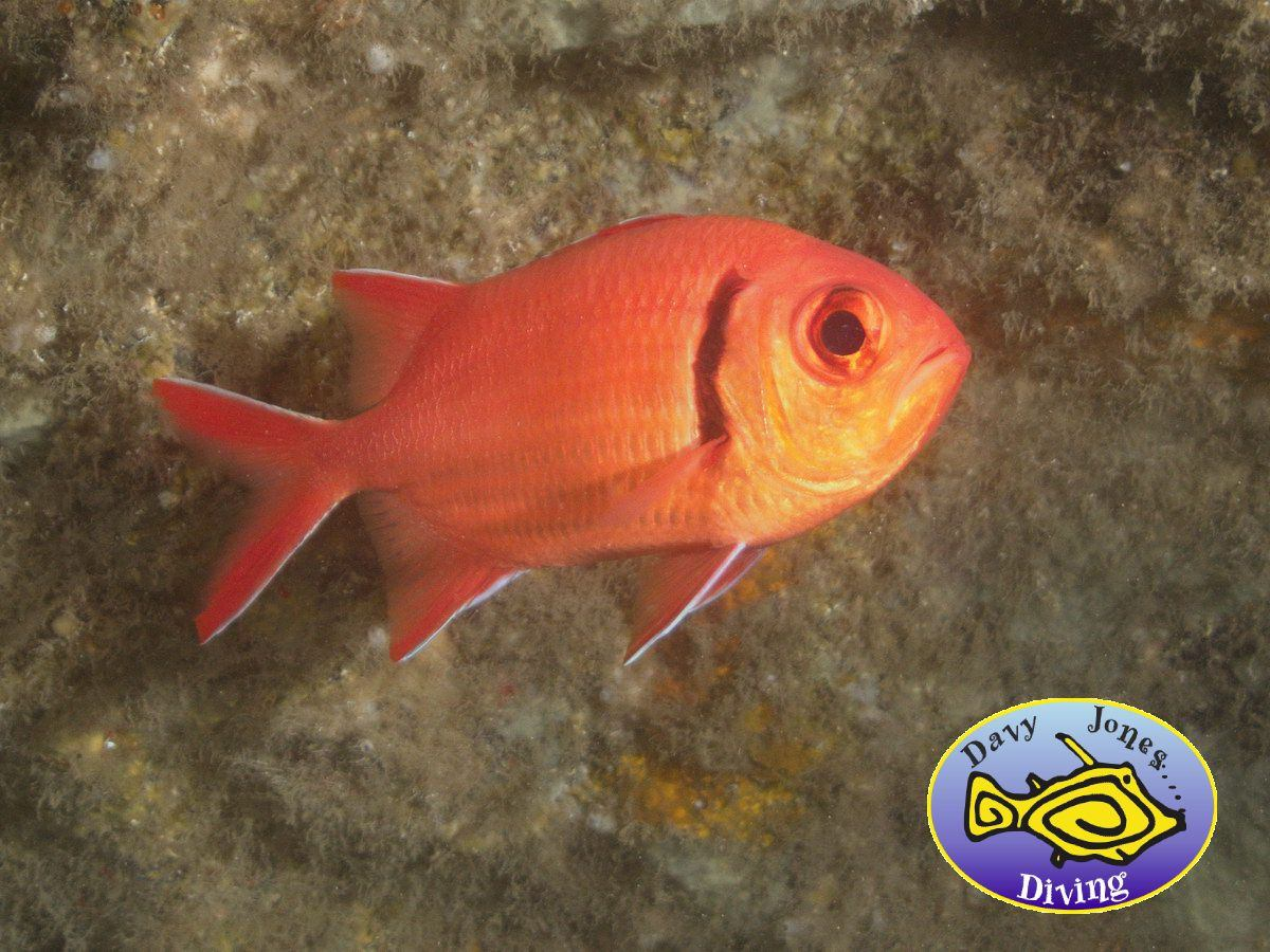 soldierfish diving canary islands