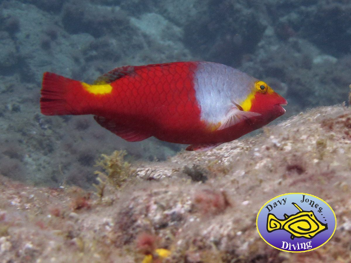 parrotfish diving canary islands