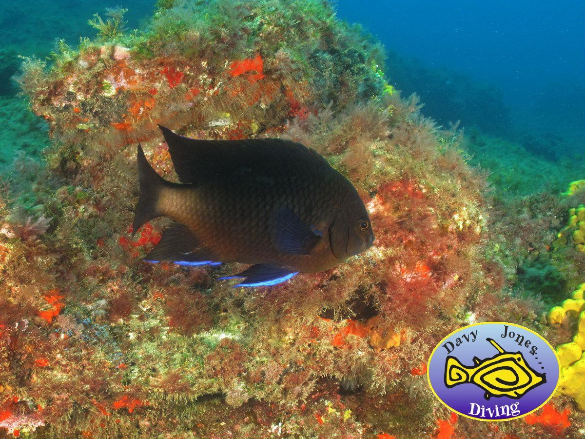 bluefin damselfish diving canary islands