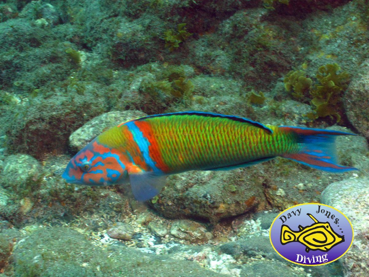 Turkish wrasse diving canary islands