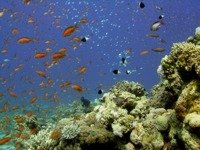 Anthias, glassfish and dominos swarm around a coral head in the Red Sea