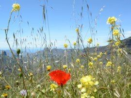 Flowers in the mountains of Gran Canaria