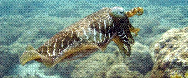Cuttlefish in the marine reserve at Arinaga in Gran Canaria