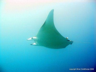 The Mobula ray can be found at feeding points in autumn in the Canaries