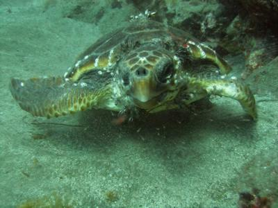 A rare closeup of a turtle with divers in Gran Canaria