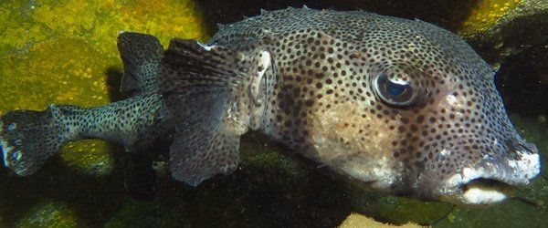 diving in Gran canaria with Spiny Pufferfish