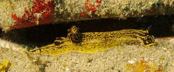 The nudibrach hypselodoris picta found in to the El Cabron.
