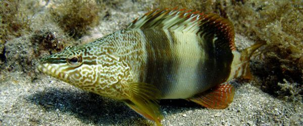 Learned Rockfish in the Canary Islands and Arinaga  scuba diving