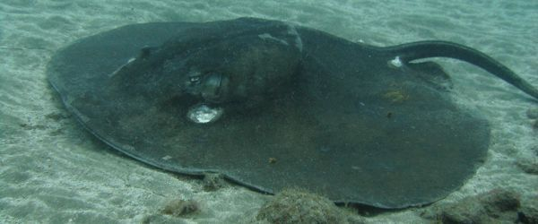 The Round Stingray is often found in depths of 20m or more.