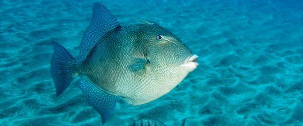 The grey triggerfish is a summer visitor to the El Cabrón.