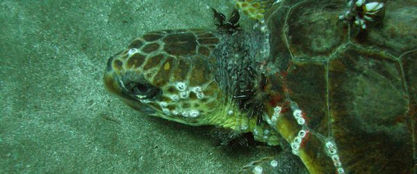 dive with turtles gran canaria