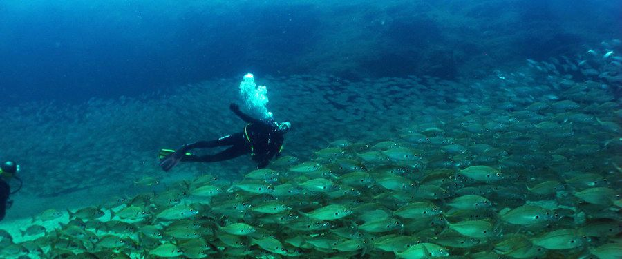 Diving in Gran Canaria shoal of roncadors