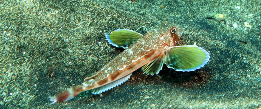 Gran Canaria- diving with streaked gurnard
