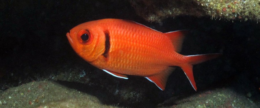 Gran Canaria - squirrelfish or soldierfish