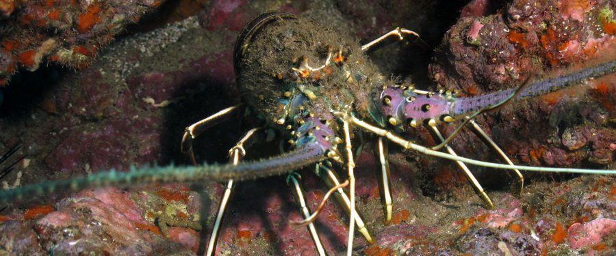 Gran Canaria- diving with a Brown Spiny Antenna Lobster