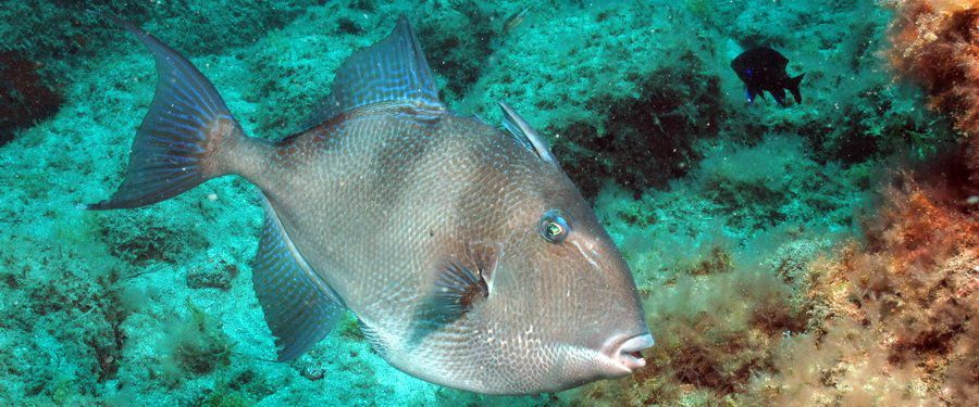 The grey triggerfish is a summer visitor to the El Cabron.