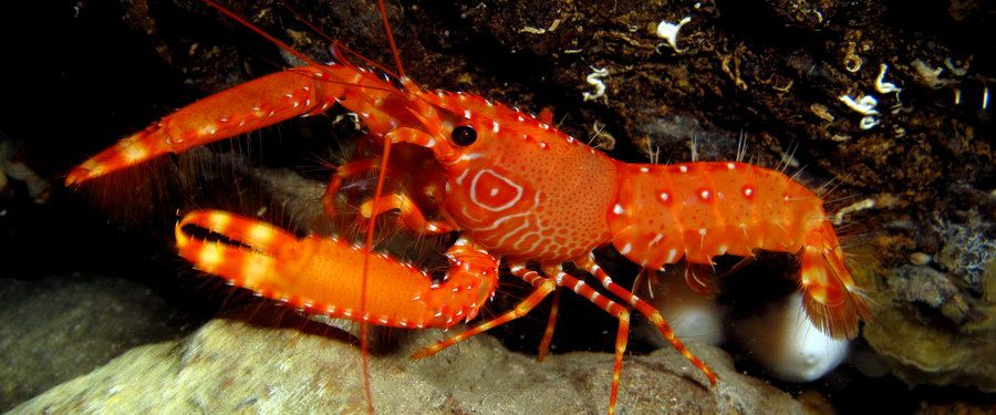 night diving gran canaria - Canarian Lobsterette