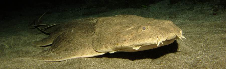 diving with angel shark at night gran canaria